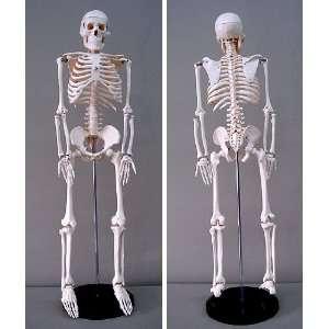 Human Skeleton Model 35 inch High Arts, Crafts & Sewing