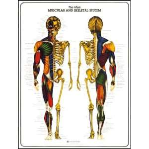 Male Muscular and Skeletal System Anatomy Chart: