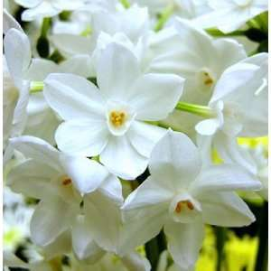 Narcissus Ariel Paperwhites, 20 bulbs   17+cm: Patio, Lawn