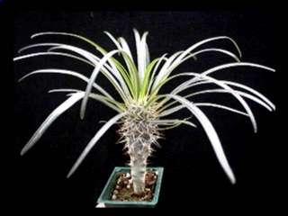 PACHYPODIUM GEAYI ~ Cactus Succulent Plant