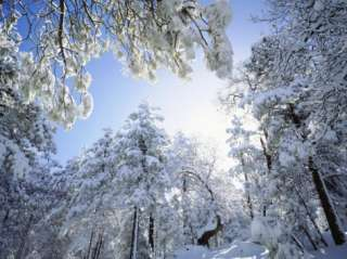 Freshly Snow Covered Trees in Sunlight, Laguna Mountains, Cleveland