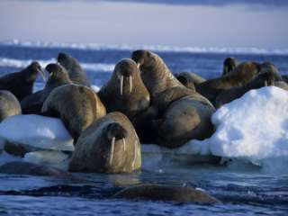 Walrus, Group on Ice, Canada Photographic Print by Gerard Soury at