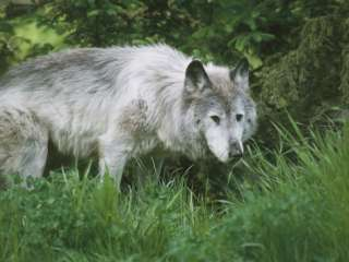Close Up of a Gray Wolf in the Zoo, Woodland Park Zoo, Seattle