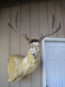 nice MULE DEER RACK ANTLERS on partial SKULL mount whitetail elk sheds